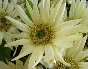 weissgelbe Sonnenblumen