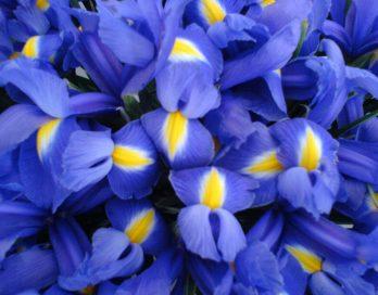 blaue Schwertlilien